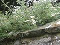 Clematis phlebantha (21203548389).jpg