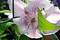 Clematis x Hagley Hybrid 0zz.jpg