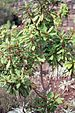 75px-clethra_arborea_in_the_second_week_of_october_1999_in_madeira.