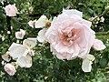 Cleveland Botanical Garden Roses.jpg