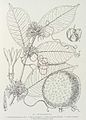 Clitandra nitida-1906.jpg
