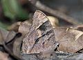 Close wing position of Melanitis leda Linnaeus, 1758 – Common Evening Brown (Dry season form) WLB1E7A1523.jpg