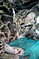 Clouded leopard cub PointDefianceZoo.jpg