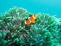Clown Fish (5531574622).jpg