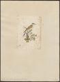 Coccystes glandarius - 1700-1880 - Print - Iconographia Zoologica - Special Collections University of Amsterdam - UBA01 IZ18800263.tif