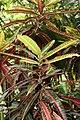 Codiaeum variegatum 61zz.jpg