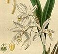 Coelogyne punctulata f. punctulata (as Coelogyne ocellata) - Curtis' 66 (N.S. 13) pl. 3767 (1840) (cropped).jpg