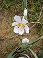 Colchicum hungaricum flower2.jpg