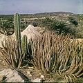Collectie Nationaal Museum van Wereldculturen TM-20029564 Wilde aloe vera Aruba Boy Lawson (Fotograaf).jpg