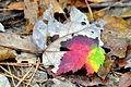 Colorful leaf at Staunton River State Park (15146740603).jpg