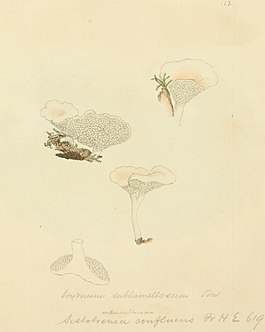 Coloured Figures of English Fungi or Mushrooms - t. 112.jpg