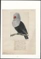 Columba nitidissima - 1750-1790 - Print - Iconographia Zoologica - Special Collections University of Amsterdam - UBA01 IZA1000178.tif