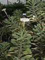 Commidendrum rugosum01.jpg
