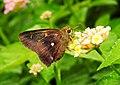 Common Awl Hasora badra by Dr. Raju Kasambe DSCN1090.jpg