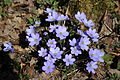 Common Hepatica - Anemone hepatica (13214078354).jpg