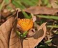 Common Leopard Phalanta phalantha in Kolkata W IMG 3669.jpg