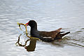 Common Moorhen (Gallinula chloropus) collecting for nest.jpg