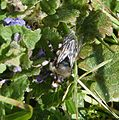 Common Mourning Bee. Melecta albifrons - Flickr - gailhampshire (1).jpg