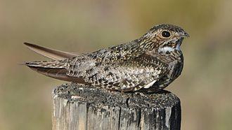 Common nighthawk - Image: Common Nighthawk (14428313550)