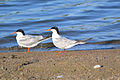 Common Terns (Sterna hirundo) (15207470806).jpg