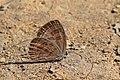 Common cerulean (Jamides celeno aelianus) dry season form underside Godavari.jpg