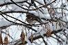 Common chaffinch in Botevgrad, Bulgaria.jpg