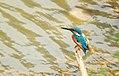 Common kingfisher perching near lake.jpg