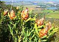 Conebush on Klapmutskop hill fynbos - Klapmuts.jpg