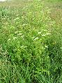 Conium maculatum Cresswell 01.jpg