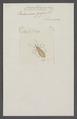 Conorhinus - Print - Iconographia Zoologica - Special Collections University of Amsterdam - UBAINV0274 041 07 0002.tif