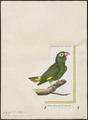 Conurus tuipara - 1700-1880 - Print - Iconographia Zoologica - Special Collections University of Amsterdam - UBA01 IZ18500195.tif