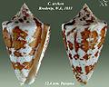 Conus archon 2.jpg