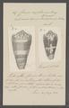 Conus raphanus - - Print - Iconographia Zoologica - Special Collections University of Amsterdam - UBAINV0274 087 02 0012.tif