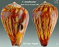 Conus tenuilineatus 1.jpg