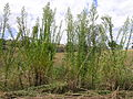Conyza sumatrensis plant2 (13346350925).jpg