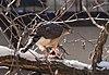 Cooper's hawk (52530).jpg