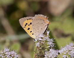 Copper Butterfly (3838110032).jpg