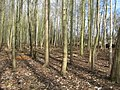 Copse gets a makeover - geograph.org.uk - 1587335.jpg