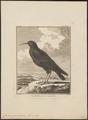Coracias graculus - 1700-1880 - Print - Iconographia Zoologica - Special Collections University of Amsterdam - UBA01 IZ15700101.tif
