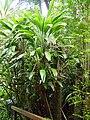 Cordyline petiolaris (tanetahi) 002.jpg