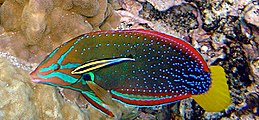 Cleaning symbiosis: a Hawaiian cleaner wrasse with its client, a yellowtail wrasse Coris gaimard and Labroides phthirophagus.JPG