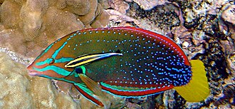 Host (biology) - Cleaning symbiosis:  a Hawaiian cleaner wrasse with its client, a yellowtail wrasse