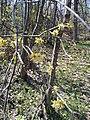 Cornus mas, Cornaceae 03.jpg