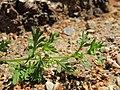 Coronopus didymum leaf (03).jpg