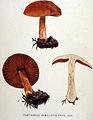 Cortinarius armillatus — Flora Batava — Volume v19.jpg