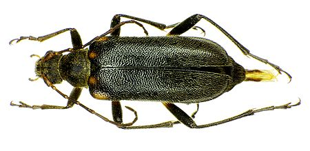 Cortodera humeralis
