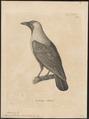 Corvus splendens - 1700-1880 - Print - Iconographia Zoologica - Special Collections University of Amsterdam - UBA01 IZ15700267.tif
