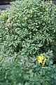 Corydalis lutea 6zz.jpg