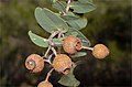 Corymbia setosa fruit.jpg