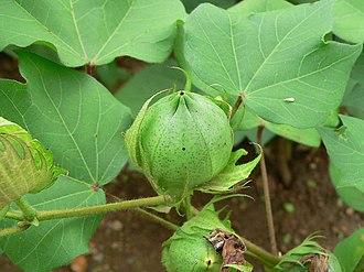 Alibori Department - Cotton ball
